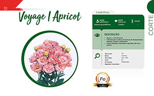 Voyage I Apricot - Corte