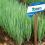 Nuevas cebollitas de verdeo con genética superior están surgiendo en el mercado