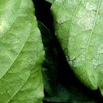 Figura 3: As folhas ilustram híbridos diferentes de pimentão sob a mesma pressão de inóculo de Leveillula taurica. Esquerda: folha moderadamente resistente, exibindo pontuações que indicam tentativas de colonização do patógeno na face inferior da folha. Direita: folha suscetível, exibindo esporulação do fungo na face inferior da folha.